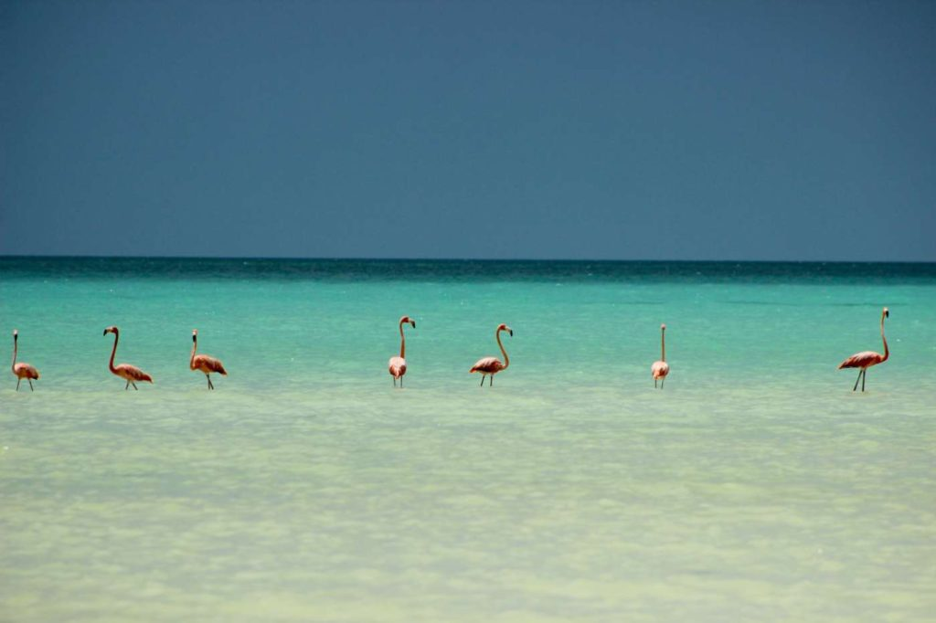 Holbox-island-mexico-flamingos